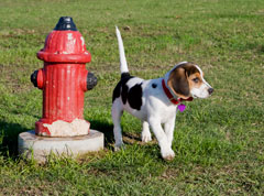 photo of beagle and fire hydrant